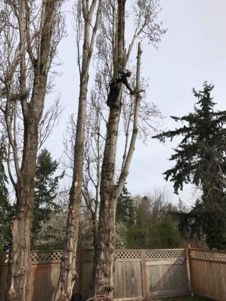 Professional from Infinity Tree Service Rigging a poplar tree for close quarters removal.