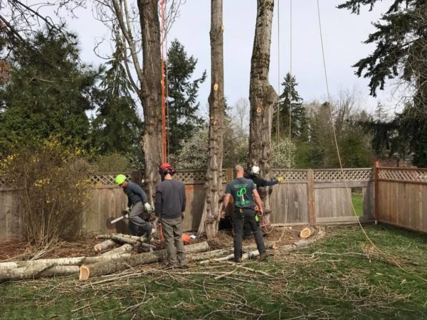 The team at Infinity Tree Services in Des Moines is experienced and knowledgeable. Here we are removing three large trees close to a fence. Safety is first.
