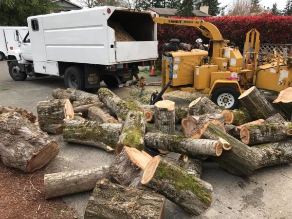 Mulching poplar trees after a close quarters tree removal in South Seattle by certified arborists at Infinity Tree Services.