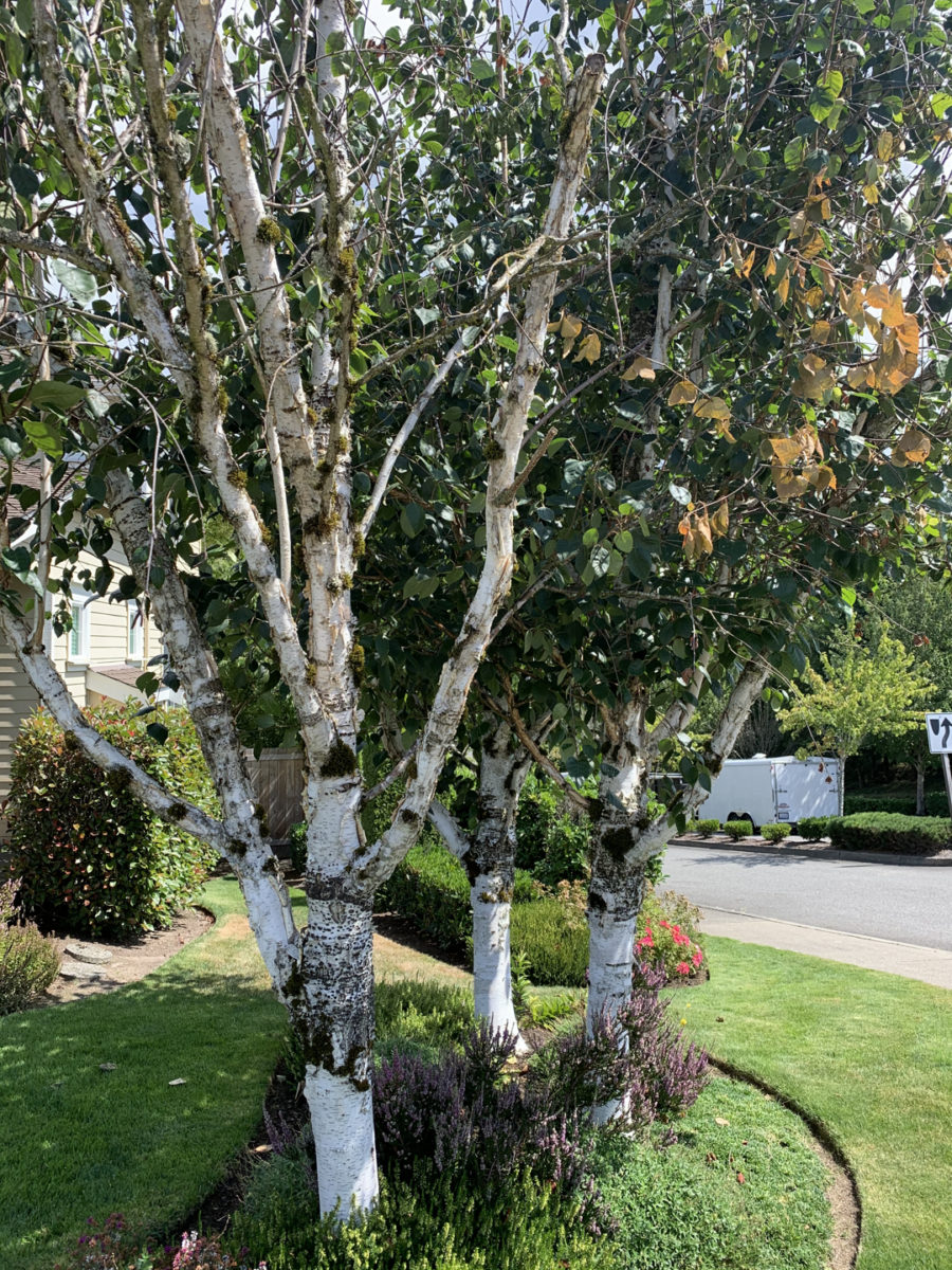 Before picture of a landscape in the Kent, Des Moines, Seattle area, some unhappy birch trees!