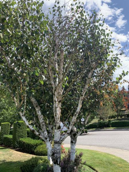Before picture of a landscape in the Kent, Des Moines, Seattle area, some decaying birch trees!