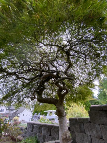 Beautiful Heritage Japanese Maple Tree over 50 years old!