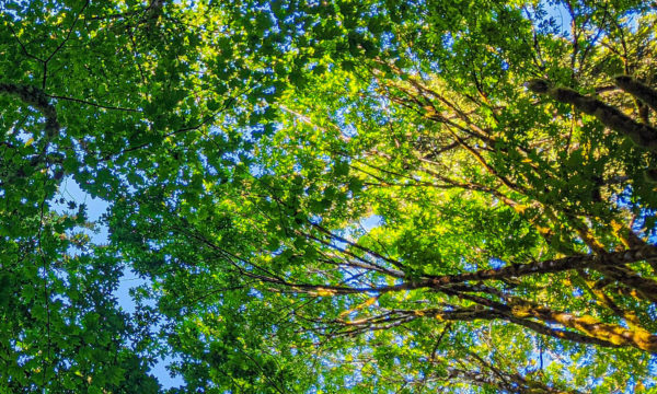 A beautiful canopy of trees overhead, showering green light on those below.